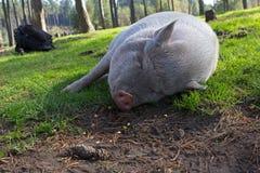 Белая potbellied свинья в парке живой природы Стоковые Фотографии RF
