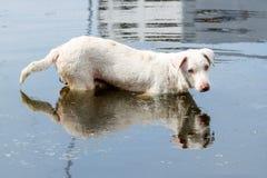 Белая sttray собака Стоковое Фото