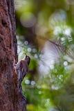 Белая Throated женщина Creaper дерева Стоковое фото RF