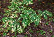 Беда заболеванием лист дерева конского каштана hippocastanum Aesculus стоковое фото rf