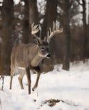 Бел-Замкнутый самец оленя Стоковые Изображения RF