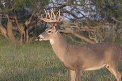 Бел-Замкнутый самец оленя Стоковые Фотографии RF