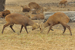 2 бел-замкнутых оленя sparring в зверинце. Стоковое Фото