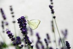 белизна лаванды цветков бабочки Стоковая Фотография RF