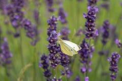 белизна лаванды цветков бабочки Стоковое фото RF