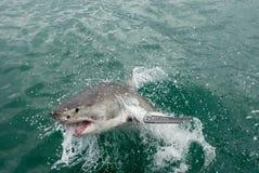 белизна акулы carcharodon carcharias большая стоковые фото