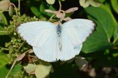 белизна бабочки большая южная Стоковое фото RF