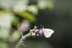 белизна бабочки большая Стоковые Фото