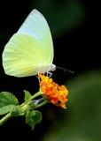Белизна бабочки малая Стоковые Изображения