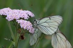 белизна бабочки aporia черным veined crataegi Стоковые Изображения