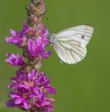белизна бабочки veined зеленым цветом Стоковые Изображения RF