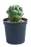 белизна бака предпосылки изолированная кактусом стоковое фото