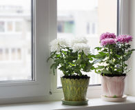 белизна бака предпосылки изолированная хризантемой Стоковое Изображение