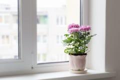белизна бака предпосылки изолированная хризантемой Стоковая Фотография