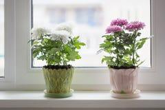 белизна бака предпосылки изолированная хризантемой Стоковые Фото