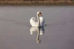 белизна безгласного лебедя Стоковое Изображение