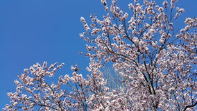 белизна вала цветков вишни цветений миндалины цветя возможно стоковое фото