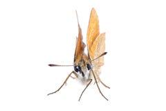 белизна вектора иллюстрации бабочки предпосылки Стоковые Изображения
