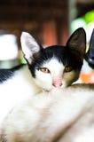 1 белизна версии киски halftone цвета черного кота 2 Стоковые Изображения