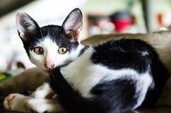 1 белизна версии киски halftone цвета черного кота 2 Стоковая Фотография RF