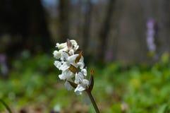 белизна весны пущи цветка Стоковая Фотография