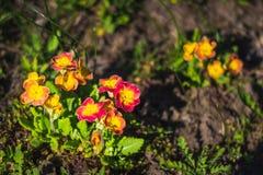 белизна весны пущи цветка Veris Primula зацветая в саде Стоковые Изображения RF