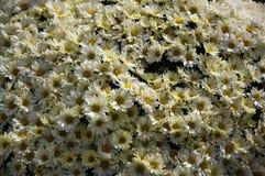 белизна весны сада хризантемы Стоковое фото RF