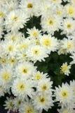 белизна весны сада хризантемы Стоковое Изображение RF