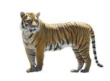 белизна взгляда тигра предпосылки бортовая Стоковые Изображения
