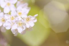 белизна вишни ветви цветений предпосылки стоковое фото
