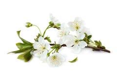 белизна вишни ветви цветений предпосылки Стоковые Изображения