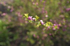 белизна вишни ветви цветений предпосылки Стоковое Изображение