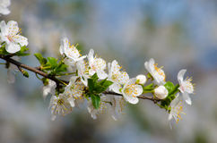 белизна вишни цветений Стоковые Фото