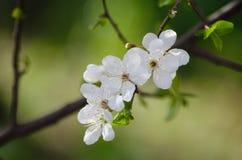 белизна вишни цветений стоковая фотография rf