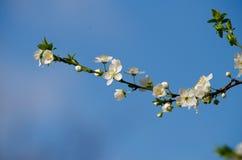 белизна вишни цветений стоковое изображение rf