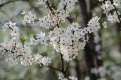белизна вишни цветений стоковые изображения rf