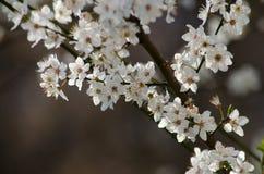 белизна вишни цветений стоковая фотография