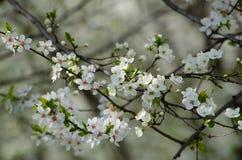 белизна вишни цветений стоковые фотографии rf