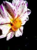 белизна георгина пурпуровая Стоковое фото RF