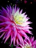 белизна георгина розовая Стоковые Изображения