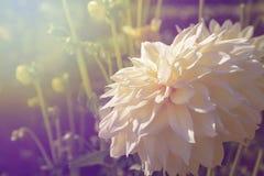 Белизна георгина Стоковая Фотография RF
