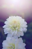 Белизна георгина Стоковое фото RF