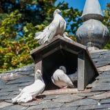 белизна голубей 3 Стоковое Изображение RF