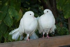 белизна голубей 2 Стоковая Фотография