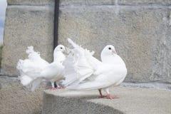 белизна голубей 2 Стоковое Изображение