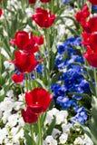 белизна голубого красного цвета Стоковая Фотография