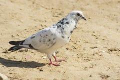 Белизна голубь черноты на песке Стоковая Фотография RF