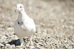Белизна голубя Стоковое Изображение