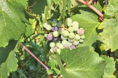 белизна группы изолированная виноградиной Стоковое фото RF