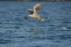 белизна замкнутая орлом Стоковая Фотография RF